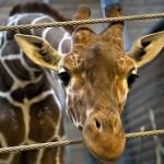 Marius giraffa uccisa senza pietà in uno zoo davanti ai visitatori incuriositi