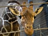 marius giraffa uccisa