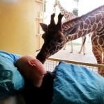Una giraffa saluta con un bacio Mario, custode dello zoo e malato terminale di cancro