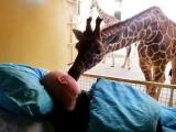 giraffa saluta con un bacio mario