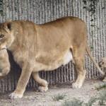 Quattro leoni uccisi nello zoo di Copenaghen solo per far posto ad un nuovo leone: scandalo tra gli animalisti