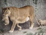 quattro leoni uccisi